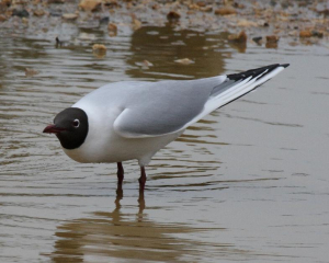 Bird - Black-headed Gull