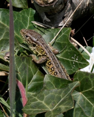06.04.2013 - Common Wall Lizard [April edition]