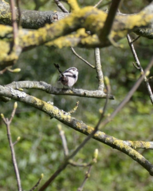 Bird - Long-tailed Tit