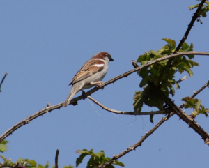 Bird - House Sparrow