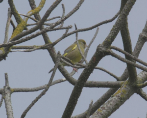 Bird -Greenfinch