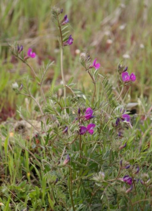 Plant - Common Vetch