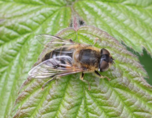 Drone Fly - Eristalis)
