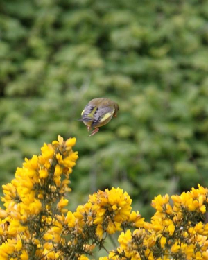 Bird - Greenfinch (1)
