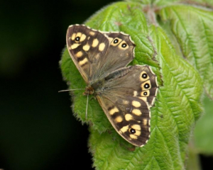 Butterfly - Speckled Wood