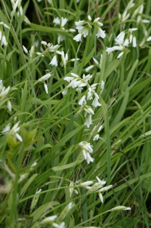 Plant - Three-cornered Garlic