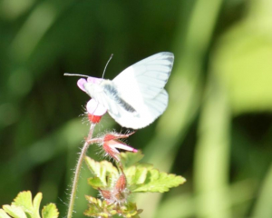 Butterfly - Green-veined White