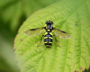 Hoverfly - Barred Ant-hill