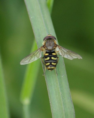 Hoverfly - Eupeodes luniger [maybe]