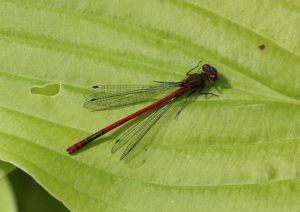 Damselfly - Large Red