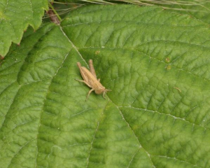 Grasshopper - Common Field
