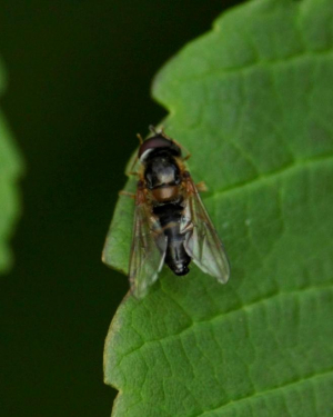 Fly or Hoverfly - for ID