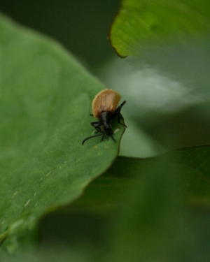 Beetle - for ID
