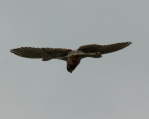 Bird - Kestrel