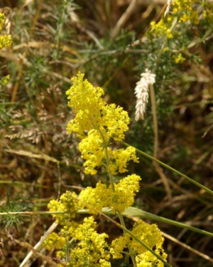 Plant - Lady's Bedstraw