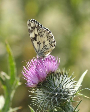 Butterfly - Marbled White - 15.07.2013