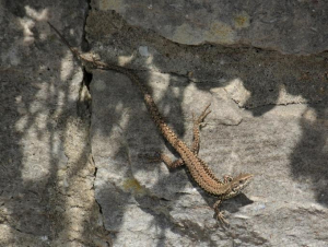 Lizard - Common Wall - July edition