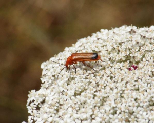 Beetle - Common Red Soldier