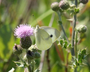 Butterfly - Large White