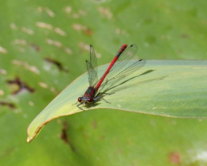 Damsel - Large Red