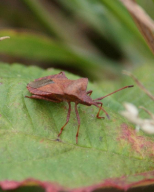 Dock Leaf Bug