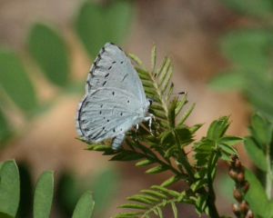 Butterfly - Holly Blue