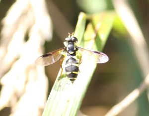 Hoverfly - Xanthogramma Pedissequum