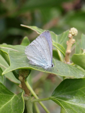 Butterfly - Holly or Small Blue