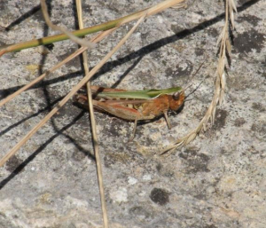 Grasshopper - Common Green