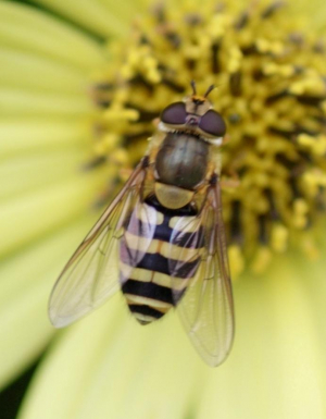 Hoverfly - Syrphus