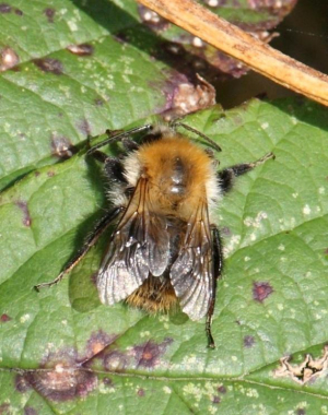 Bee - Common Carder