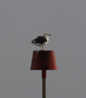 Bird - Great Black-backed Gull