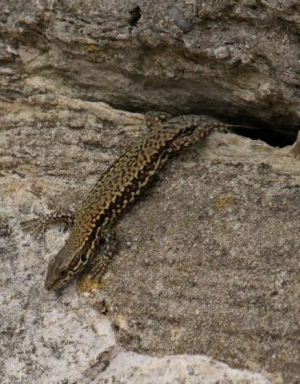 Lizard - Common Wall