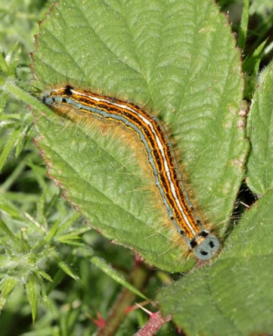 Moth - Lackey (Caterpillar)