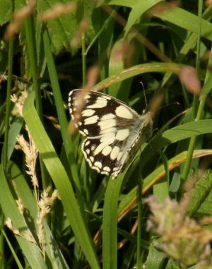Butterfly - Marbled White