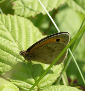 Butterfly - Meadow Brown