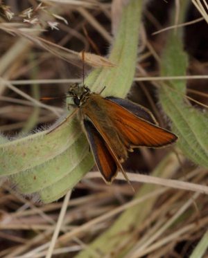 Butterfly - Skipper