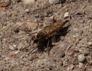 Fly - Robber Fly (Asilidae)