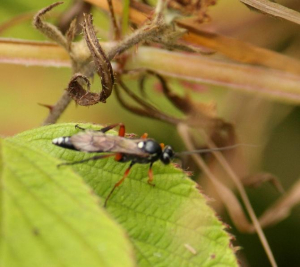 Sawfly - for ID