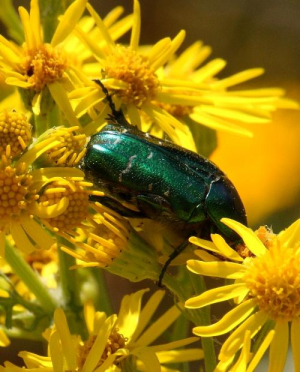 Beetle - Rose Chafer