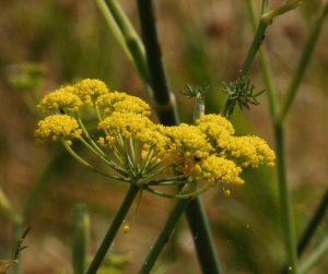 Plant - Fennel