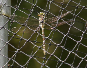 Dragonfly - Common Hawker