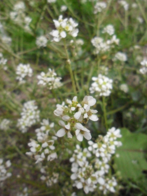 Scurvy-grass (Cochlearia sp.)