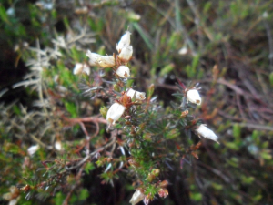 Bell Heather (Erica cinerea)