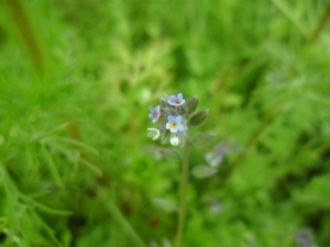 Changing Forget-me-not (Myosotis discolor)