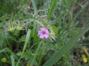Cut-leaved Crane's-bill (Geranium dissectum)