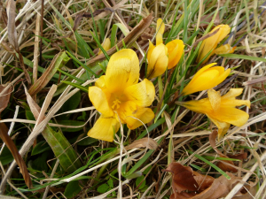 Yellow Crocus (Crocus x stellaris)