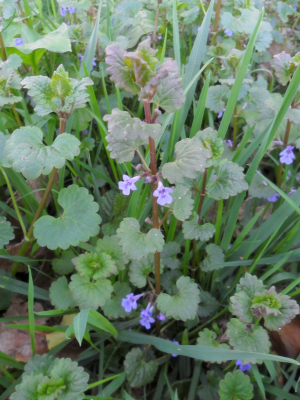 Ground-ivy (Glechoma hederacea)