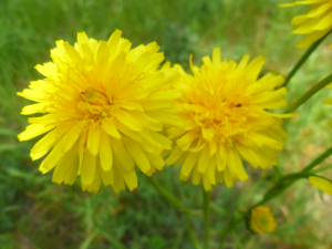 Rough Hawk's-beard (Crepis biennis)
