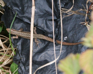 Common Lizard?
